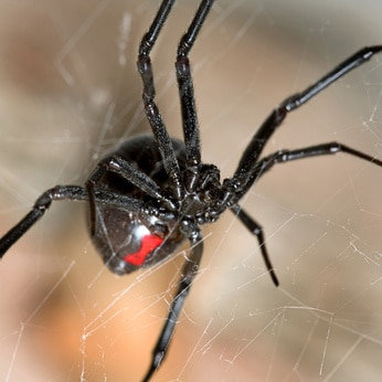 Black Widow, copyright Arman, Fotolia_5079049_XS.jpg