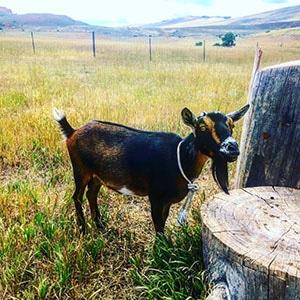 Brown goat by stump.jpg