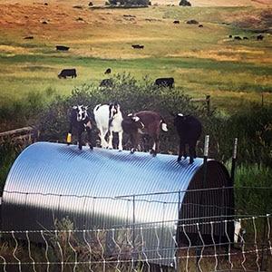 Goats on their house.jpg