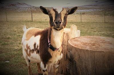 Slow Goat Farm